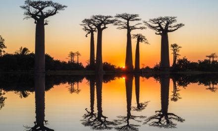 ИЛЈАДНИЦИ ГОДИНИ СТАРИ БАОБАБ ДРВЈА ВО АФРИКА НАГЛО СЕ СУШАТ